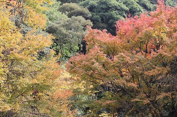 轟狭の紅葉、大きな木(紅葉'赤と黄色)の写真