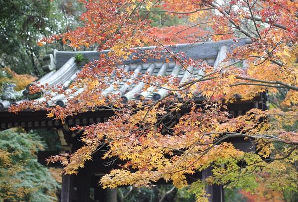天祐寺の入口の門と赤く色づいたモミジの写真