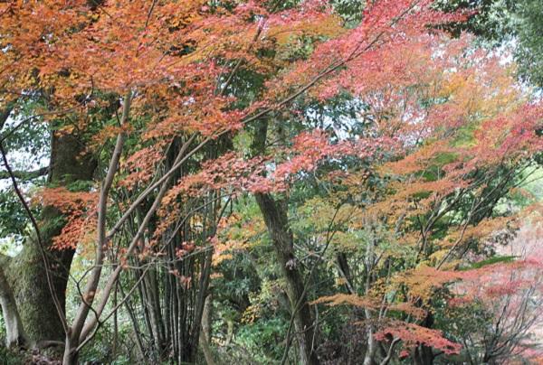 天祐寺、参道沿いのモミジの写真