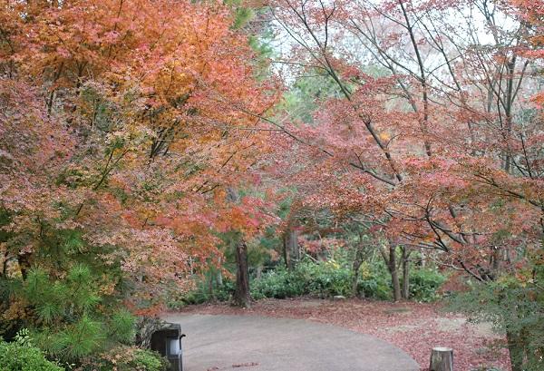 天祐寺奥の院「虚空蔵堂」、赤く色づいたたくさんのモミジの木の写真