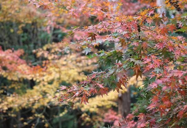 天祐寺奥の院「虚空蔵堂」、紅葉したモミジのアップ写真
