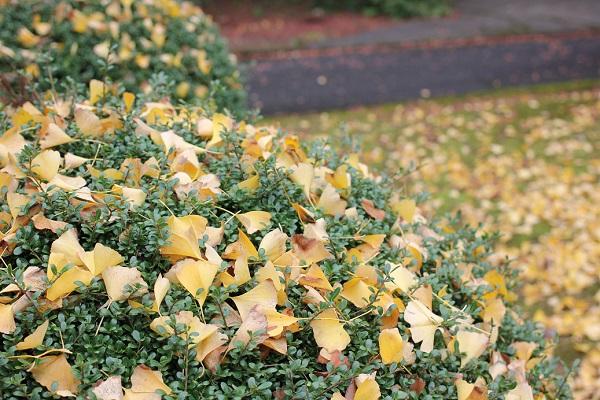 上山公園、イチョウの落ち葉の写真