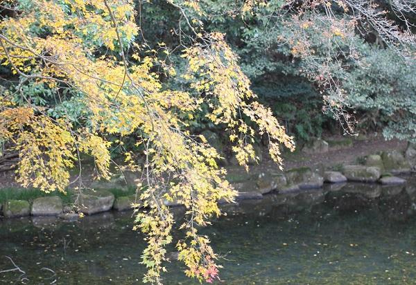 上山公園の池と黄色に色づいたモミジの写真
