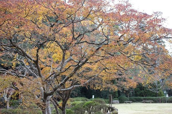上山公園、色づいた大きなモミジの木の写真