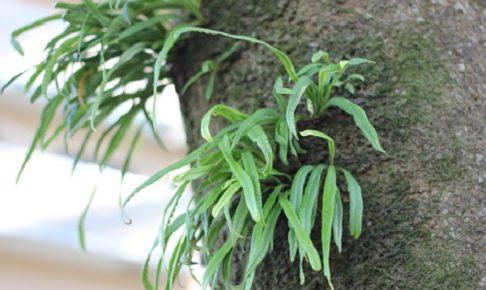 木に着生しているノキシノブの写真