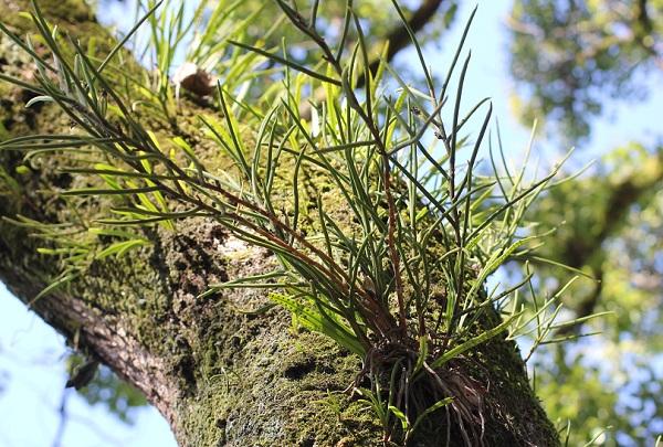 ノキシノブ、木の幹に着生している写真