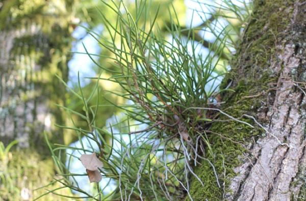 ノキシノブと苔、木の幹に着生している写真