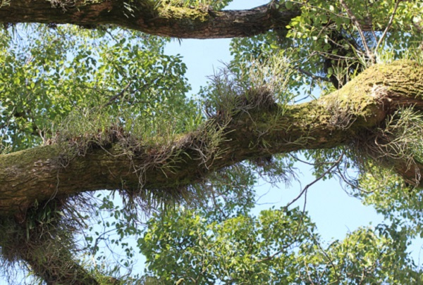 クスノキの古木に鳥の巣のように繁殖しているノキシノブの写真