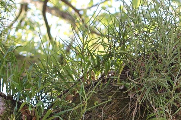 木の幹に着生しているノキシノブのアップ写真