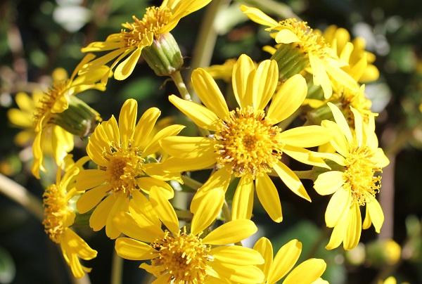 大村 ミライon図書館の庭に咲いてる満開のツワブキの写真