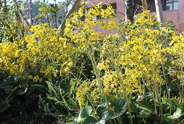 大村 ミライon図書館の庭に咲き乱れるツワブキの花の写真
