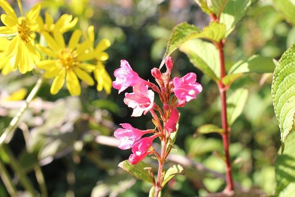 大村 ミライon図書館の庭に咲いてるツワブキとピンクの花の写真