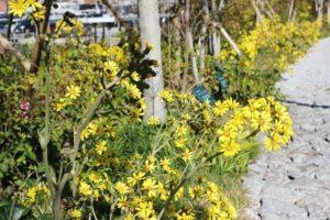 ミライon図書館の庭、ツワブキがたくさん咲いてる様子の写真