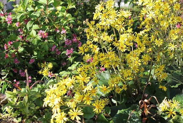 大村 ミライon図書館の庭に植えられているツワブキや植物、花の写真