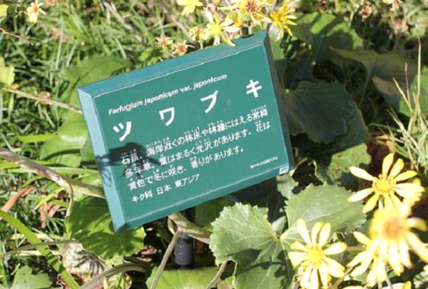 大村 ミライon図書館の庭、ツワブキの説明看板の写真