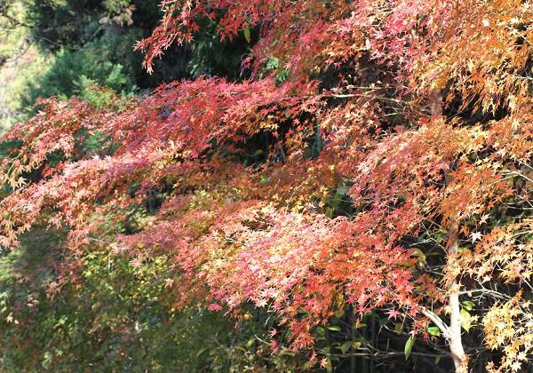 諏訪池の遊歩道、赤いモミジ木の写真
