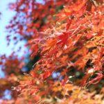 諏訪池、紅葉したモミジの写真