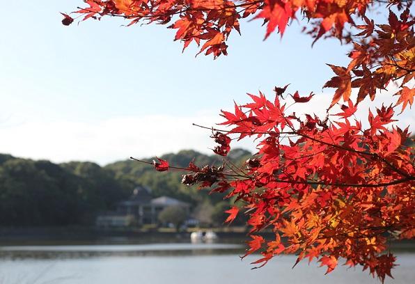 諏訪池と赤いモミジの写真