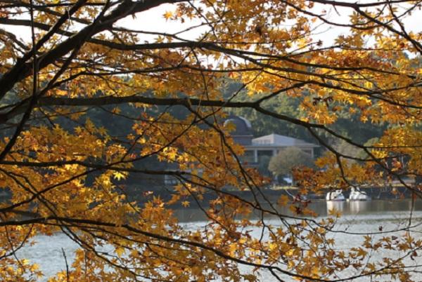 黄色のモミジの向こうに見えるスワンのボートと諏訪池の写真