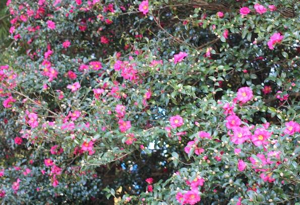 諏訪池、満開の山茶花の写真