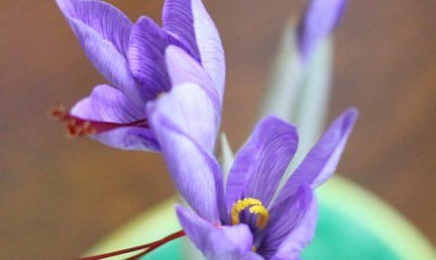 水なし土なしで育てたサフランの花
