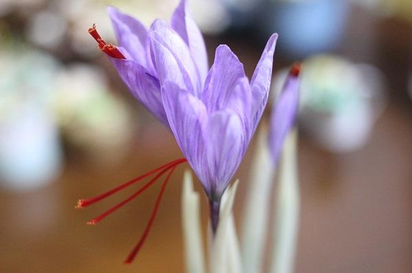 咲いたサフラン、赤い雌しべが垂れてる様子の写真