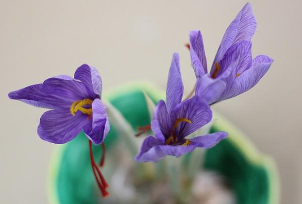 12月半ばに咲いたサフランのようすの写真
