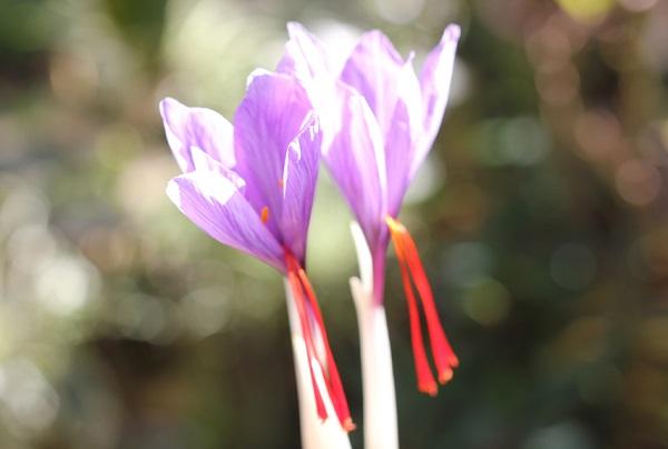 サフランの花のアップ写真(雌しべが特徴的)