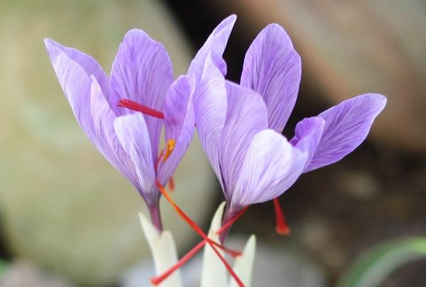 美しく咲いたサフランの花のアップ写真