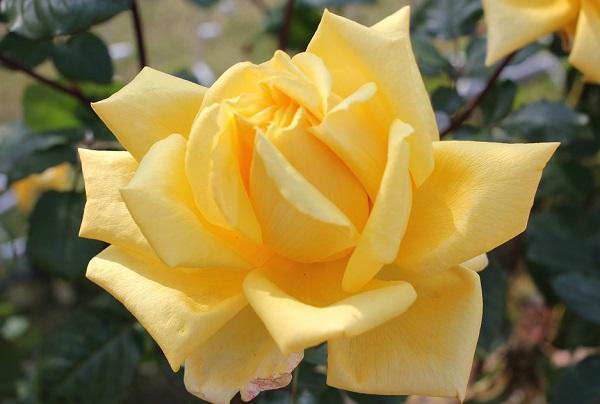 黄色のバラ「あゆみ」の満開のアップ写真