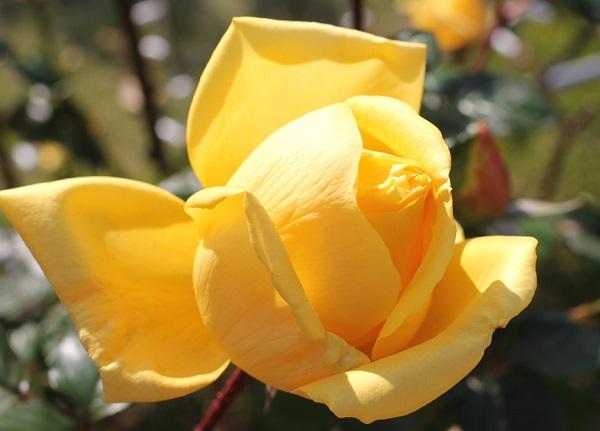 黄色のバラ「あゆみ」の満開の前のアップ写真
