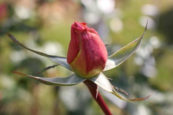 黄色のバラ「あゆみ」の赤い蕾のアップ写真