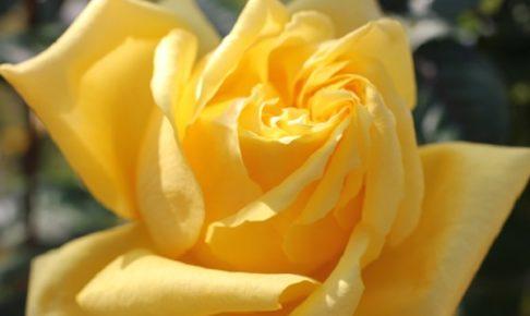 美しい黄色のバラの花(あゆみ)
