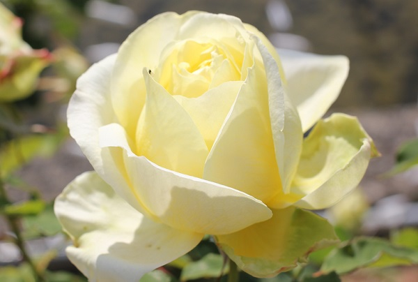 黄色のバラ「快挙」の蕾が開花したアップ写真