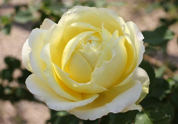 黄色のバラ「快挙」が咲いたアップ写真