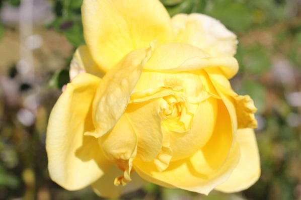黄色のバラ「トゥールーズ ロートレック」が美しく咲いたアップ写真