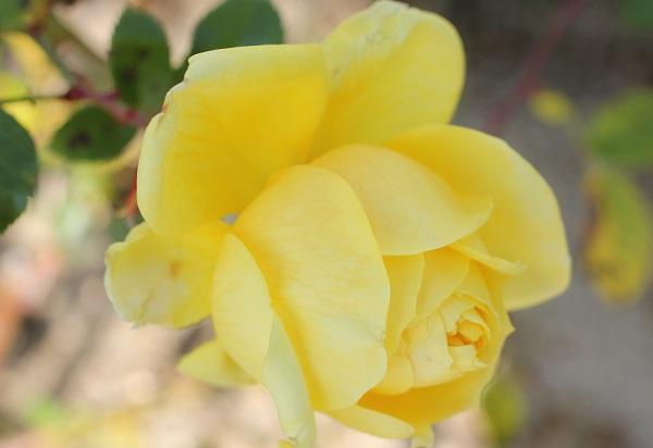 黄色のバラ「トゥールーズ ロートレック」蕾が開いたアップ写真