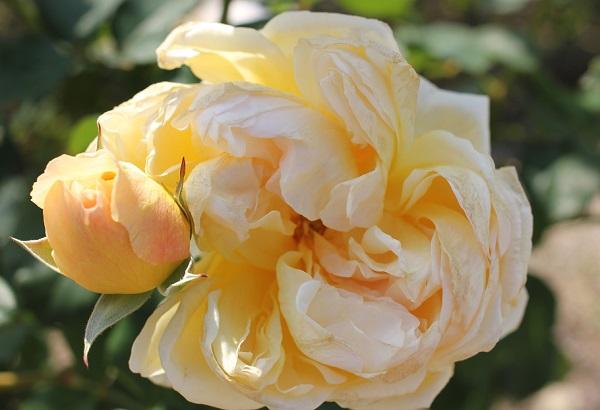 黄色のバラ「りくほたる」の蕾と満開のアップ写真