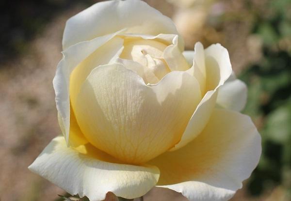 黄色のバラ「りくほたる」の蕾が開いたアップ写真