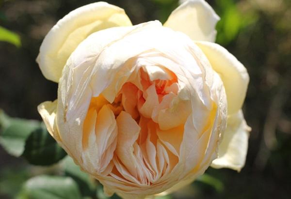 黄色のバラ「りくほたる」美しく咲いたアップ写真