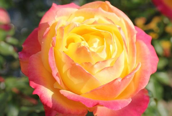 黄色のバラ「トロピカルシャーベット」が美しく咲いたアップ写真