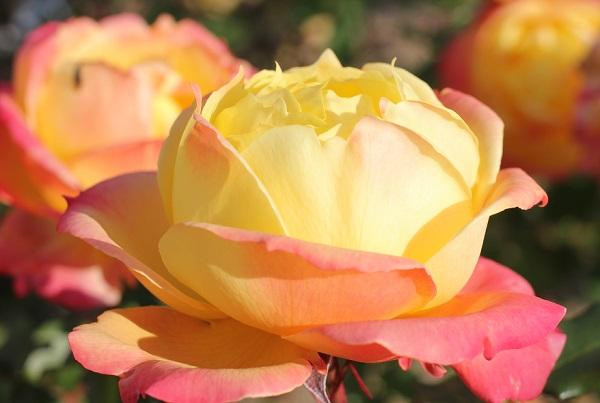 黄色のバラ「トロピカルシャーベット」蕾が開いたアップ写真