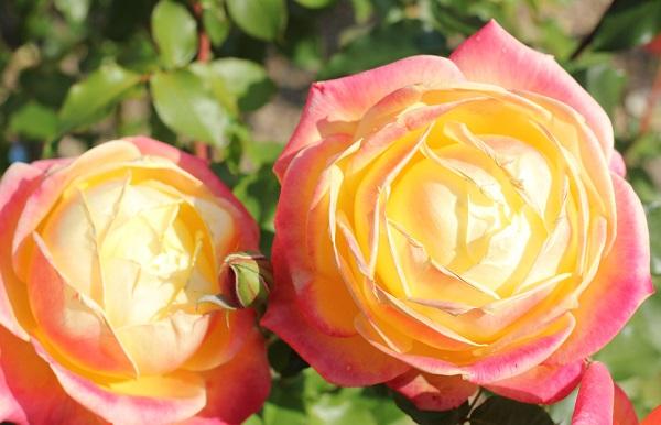 黄色のバラ「トロピカルシャーベット」が美しく咲いた二輪のアップ写真
