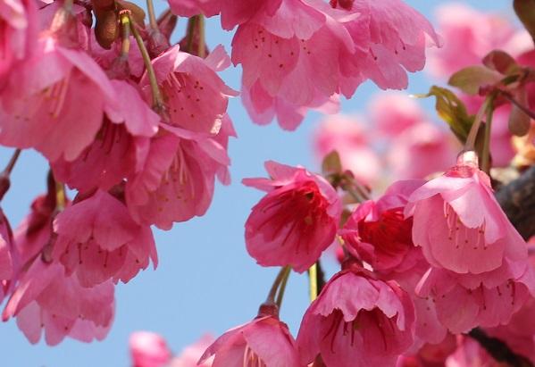 とても美しい寒緋桜の花の写真