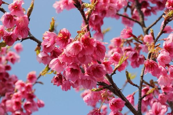 満開の寒緋桜の花、下からみた様子の写真