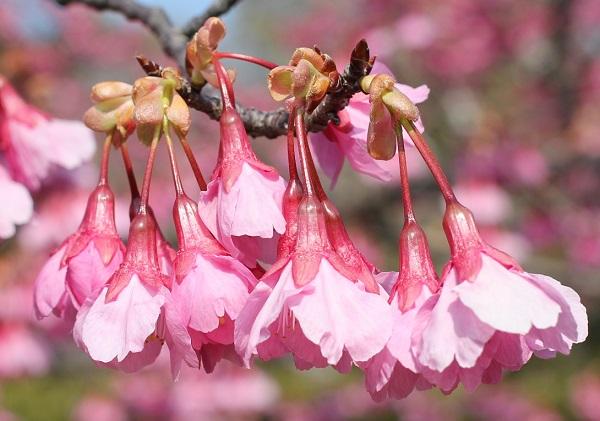 寒緋桜の花、アップ写真