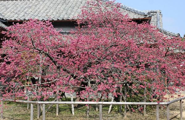 鍋島邸の寒緋桜、満開の様子の写真
