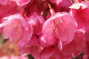 美しいヒカンザクラの花のアップ写真