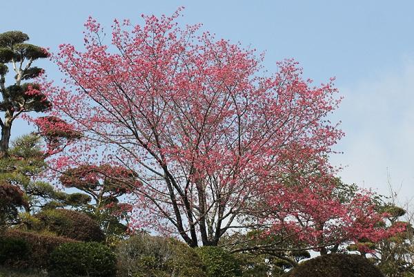 大きな寒緋桜の木、満開の様子の写真