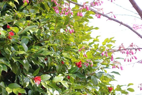 寒緋桜とヤブツバキの写真